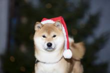 Gör eget julgodis till hunden