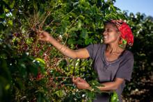 Nespresso gir nytt liv til gjemte kaffevarianter med Reviving Origins