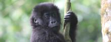 Försämrad genetisk variation gör östliga gorillan ännu mer sårbar