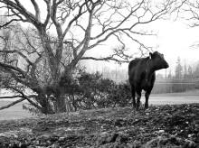 En hållbar köttproduktion