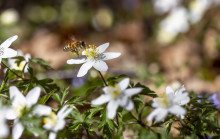 En levande trädgård hjälper pollineringen och den biologiska mångfalden