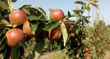 Fler blommor runt äppelodlingarna kan ge högre skörd