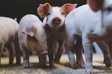 Ympäristökestävämpi sianlihantuotanto on tulevaisuutta