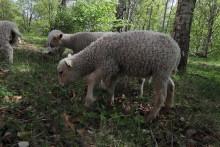PRESSINBJUDAN: Dags för fårsläpp i Slottsbacken