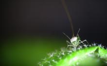 Växter använder cellväggen till försvar mot bladlusangrepp