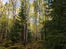 Blandskogar ger mer – men det gäller att blanda rätt!