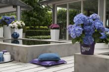 Ny undersökning visar att kunderna väljer Forever&Evers hortensior på grund av kvalitet och lätthet att sköta