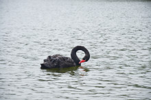 So what's all this about black swans?