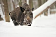 Villsvinet inntar Norge