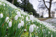 Snowdrops set to bloom across Scotland