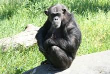Schimpansfödsel 080605