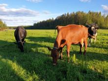 Norrmejeriers nya mjölkundersökning visar: Hållbarhet och lokalproducerat viktigt för norrlänningarna
