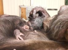 Tillökning hos schimpanserna på Furuvik