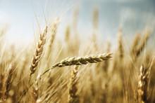 SiloSolve® MC boosts fermentation and preservation of barley silage