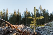 Formas ger akutbidrag till forskning om torkans effekt på granars motståndskraft