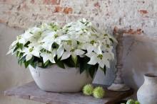 Blomstrende jul i hvite nyanser