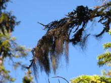 Tagellavar missgynnas av varmare och blötare klimat