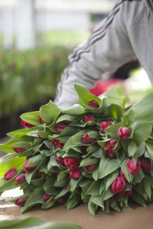 Tulpanens Dag firas den 15 januari