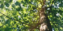 Träd flyttas till Science Village