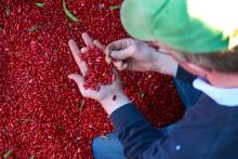 Innovation bakom ny bönpasta med bönor från Öland