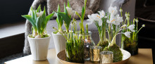 Skap vårstemning i stuen med løkblomster