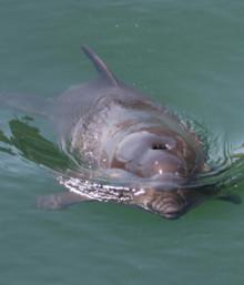 Just nu: Sällsynt tumlare i Stockholms skärgård