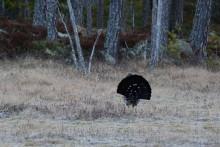 Tjärnar och tjäderlek värnas när Dalarna får fyra nya naturreservat