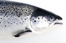 Record for August: 100 000 tons of Salmon exported