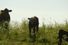 Lönsam Nötköttsproduktion på Naturbetesmarker