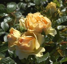 Blomsterlandets favoritros 2017 - Floribundaros 'Hansestadt Rostock'