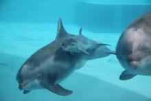 Ännu en lyckad delfinfödsel på Kolmården