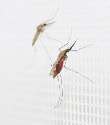 Botoxkusin kan minska malaria på miljövänligt sätt