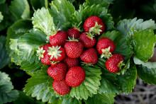 Trädgårdsmästaren tipsar:  Sommaren är bästa tiden att plantera jordgubbsplantor