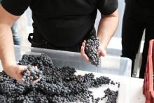 Druvskörden i Solna ska bli ett unikt vin