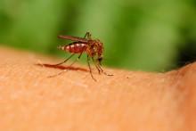 Svenska mygglarver kan sprida virus