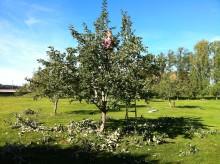 Yrkesseminarium om fruktträdsbeskärning i samarbete med Svensk Trädgård