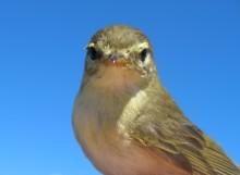 Flyttfåglar missar fördelarna med klimatförändringar
