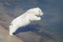 Yet Unnamed Polar Bear Cub Set to Skyrocket Visitor Numbers at Finland's Ranua Zoo – Watch Video!