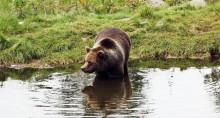   Tre björnungar födda