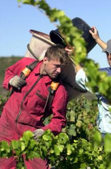 Fantastisk Sauvignon Blanc på gång! - Skörderapport från Francois Lurton