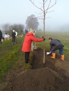 Återplanteringen av Göta kanals trädallé når ny milstolpe