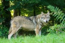 Länsstyrelsen har beslutat om skyddsjakt på en varg i Svärdsjö, Falu kommun