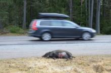 Kraftig ökning av viltolyckor med vildsvin