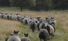 Köp inte in problem i fårflocken