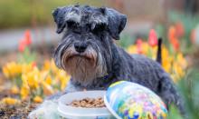 Påskfirandet medför stora faror för husdjuren