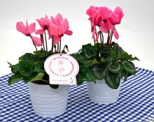 Dagens Rosa Produkt 25 oktober - en storblomig Cyklamen från Mäster Grön