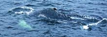 Knölvalen utanför Hudiksvall kan ha övervintrat