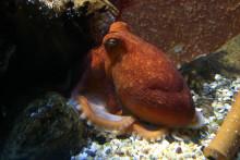 Ovanligt många bläckfiskar på Havets Hus