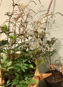Elegant och ståtlig växtpärla vinnande perenn