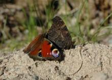 Fjärilars ögonfläckar skrämmer fienden